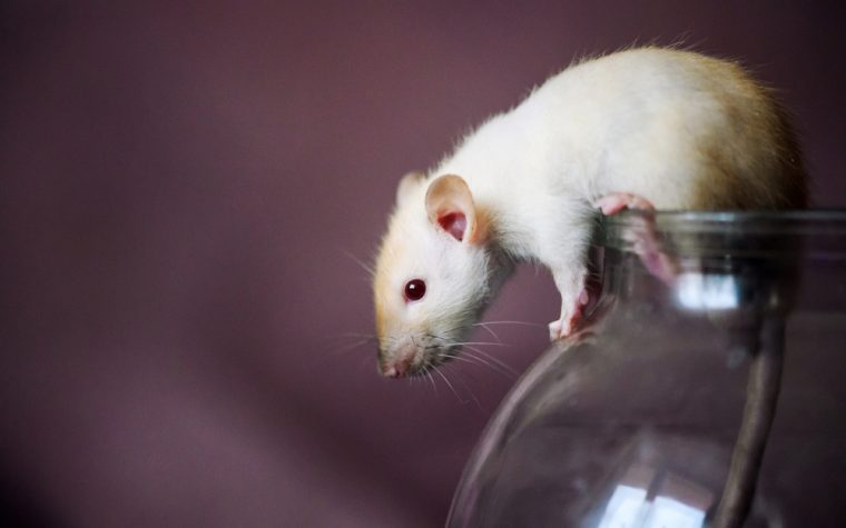 New Mouse Model and Gene-Editing Tool May Help Advance CLN2 Research