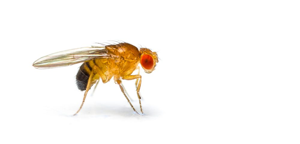 Fruit Fly Research Examines Two Genes Involved in Batten Disease