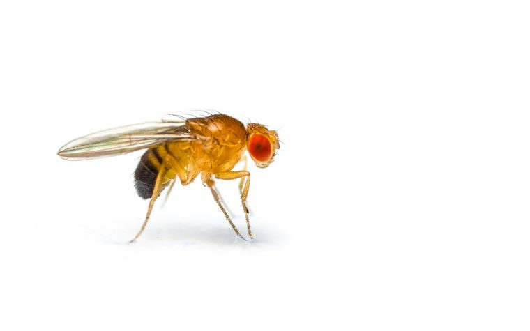 fruit fly model, Batten disease